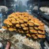 Columbia Mushroom Online